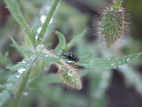 Fliege-auf-der-Klatschmoh-Knospe