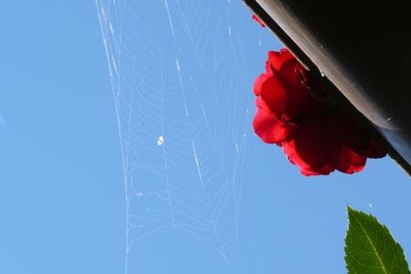 Hoch-hinaus-Kletter-Rose-und-Spinnennetz