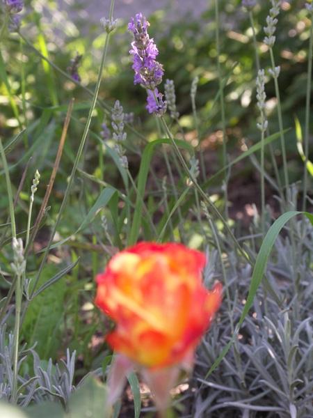 Lavendel-und-Feuer-Rose