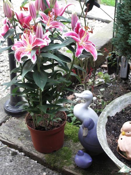 Lilie-aus-Frankreich