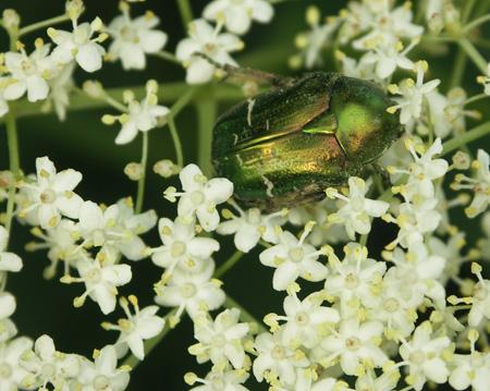 Rosenkaefer-Cetonia-aurata-Geschuetzt