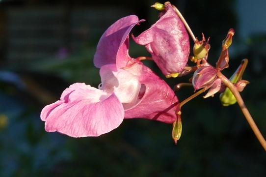 Ruehr-mich-nicht-an-Druesen-Springkraut-oder-Bauernorchidee