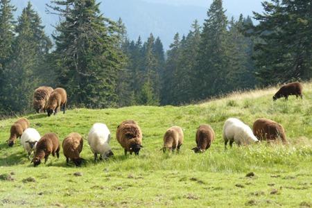 Schafe-auf-der-Alp