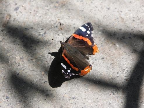 Schatten-Schmetterling
