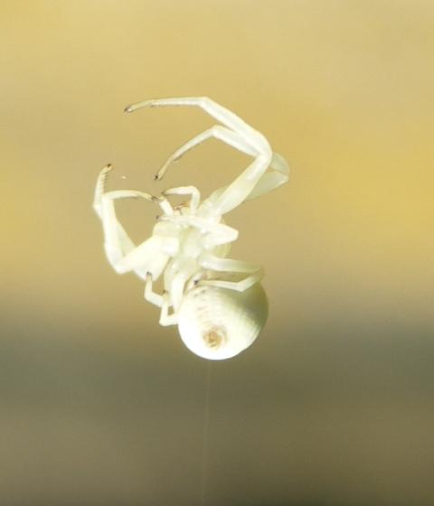 Weisse-Spinne-mit-Faden-