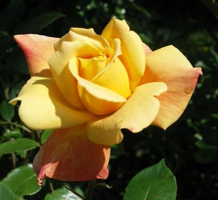 meine-offene-Feuer-Flammen-Rose