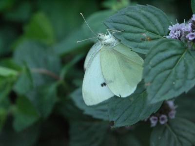 schmetterling1