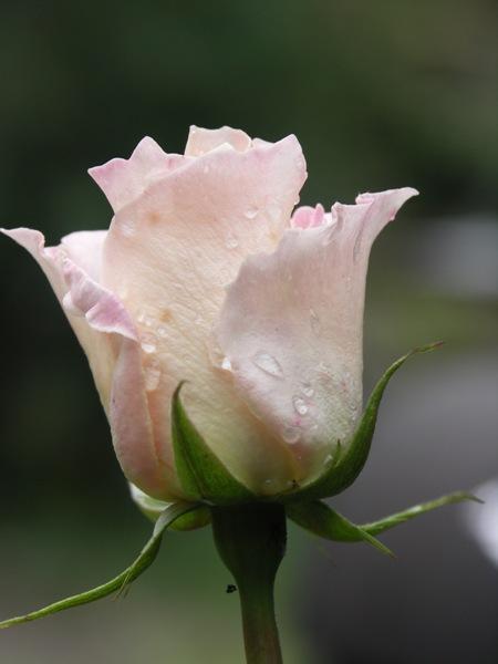weisse-Rose-noch-in-rosa