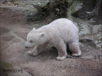 -Knut