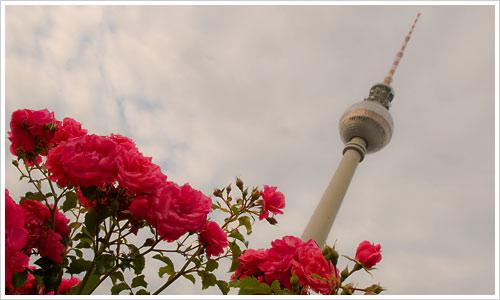 Rosen für den Fernsehturm