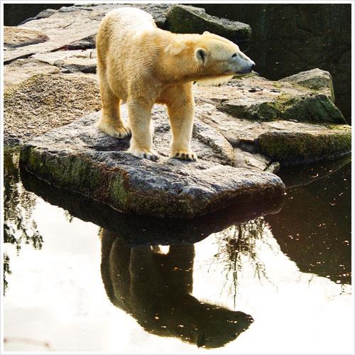 Ein Eisbär spiegelt sich im Wasser