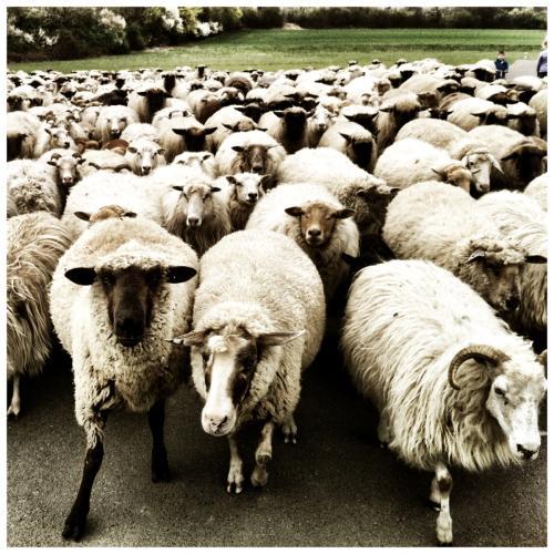 Eine Schafherde von vorn aufgenommen