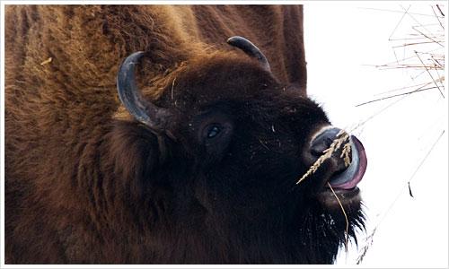 Bison im Tierpark Berlin