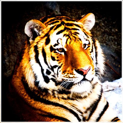 Ein Tigerkopf im Portrait etwas verfremdet
