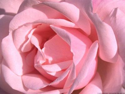 rose-inner